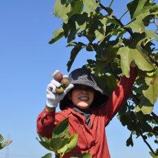 画像8:  無農薬・有機栽培 世界のいちじく* 2パック 送料込 (8)