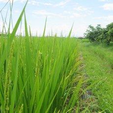 画像2: 令和元年度産 業務用減農薬米 ひのひかり 5kg (2)
