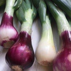 画像2: 無農薬・有機栽培 葉玉ねぎ 約2kg (2)