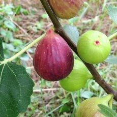 画像5: 無農薬・有機栽培  完熟いちじくジャム加工用 約2kg  送料込み (5)