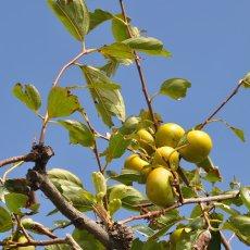 画像8: 無農薬・有機栽培 富有柿 1箱約2kg  送料込 (8)