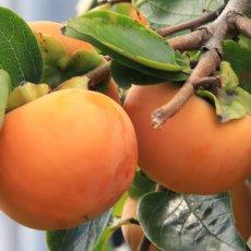 画像7: 無農薬・有機栽培 富有柿 1箱約2kg  送料込 (7)