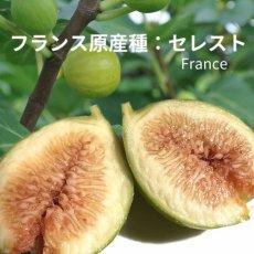 画像3:  無農薬・有機栽培 世界のいちじく* 2パック 送料込 (3)