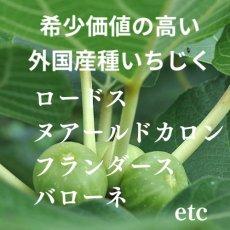 画像7:  無農薬・有機栽培 世界のいちじく* 2パック 送料込 (7)